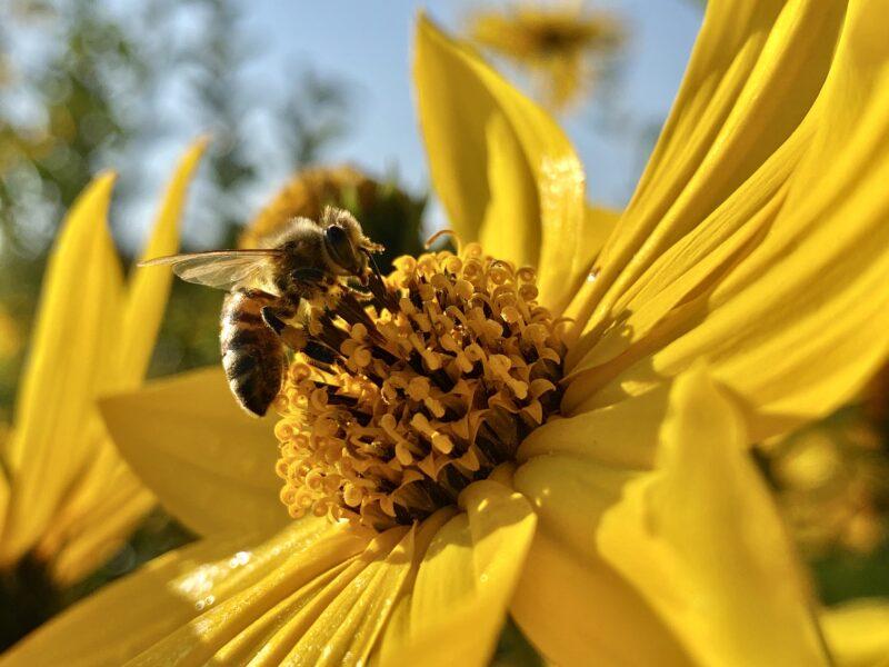 Você sabe o risco que a picada de abelhas pode trazer para o seu pet?